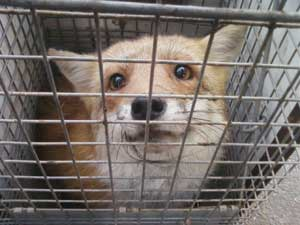 Caged Foxes On Death Row Way Cool Dogs